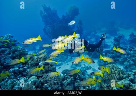 Diver videotapes a Black-spot Snapper, Lutjanus ehrenbergi, Red Sea, Egypt - Stock Photo