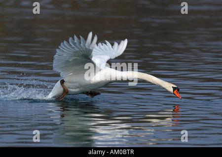 Mute swan (Cygnus olor) landing on the water - Stock Photo