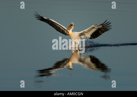 White Pelican (Pelecanus onocrotalus) landing on the water, reflection - Stock Photo