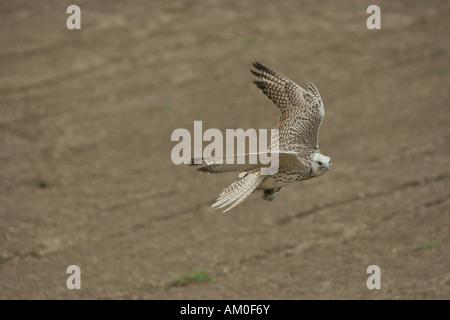 Trained Saker falcon, hybrid Saker Gerfalcon, Germany - Stock Photo
