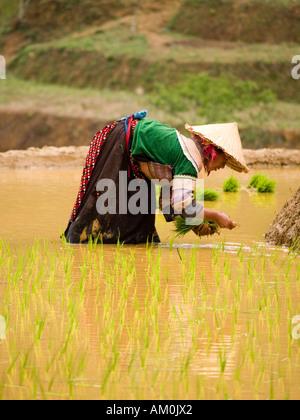 planting rice - Stock Photo
