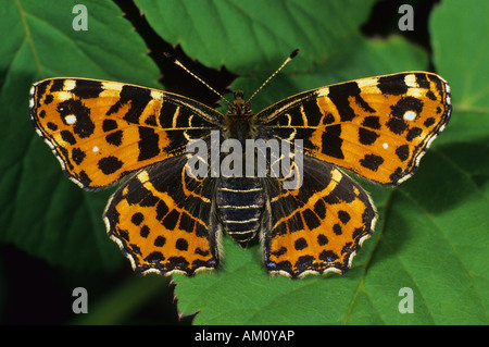 Map (butterfly) [Araschnia levana] in spring - Stock Photo