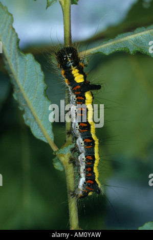 Caterpillar (Apatele psi), eating - Stock Photo