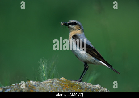 Northern Wheatear (Oenanthe oenanthe), female with food for its chick - Stock Photo