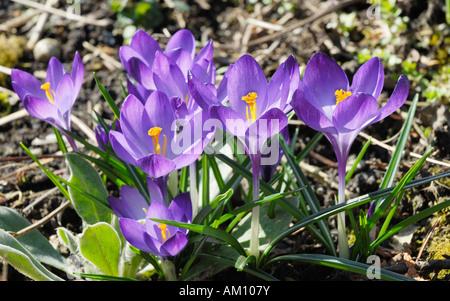 Group of violet crocus flowers, crocus sativa - Stock Photo