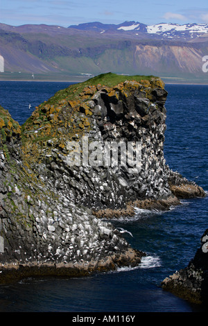 Basalt rocks with kittiwakes (Larus tridactylus) - breeding colony at the volcanic coast of Iceland - Snaefellsnes - Stock Photo