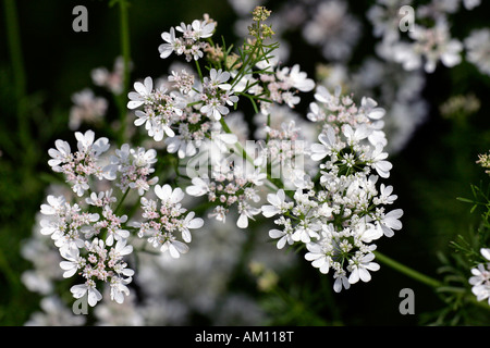 Flowering coriander (Coriandrum sativum) - Stock Photo