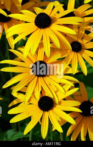 Flowering cone flower cultivar Goldsturm (Rudbeckia fulgida var. sullivantii cultivar Goldsturm) - Stock Photo