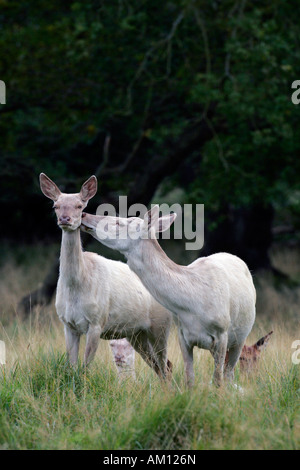Watchful white female red deers during the rut - white hinds - social behaviour (Cervus elaphus) - Stock Photo