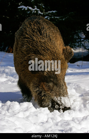 Wild boar in snowcovered winterforest - female - sow (Sus scrofa) - Stock Photo