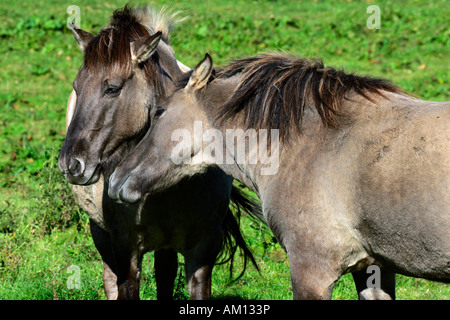 Konik horses - social behaviour (Equus przewalskii f. caballus) - Stock Photo