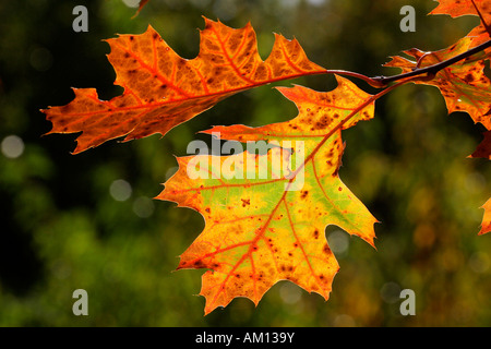American red oak - leaves in autumn colours - colourful foliage (Quercus rubra) - Stock Photo