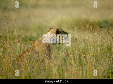 Lion (Panthera leo), hunting lioness getting the scent of her prey, Western Corridor, Serengeti, Tanzania - Stock Photo