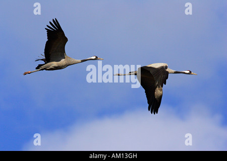 Couple of flying common cranes (Grus grus) - national park Vorpommersche Boddenlandschaft, Mecklenburg-Western Pomerania, - Stock Photo