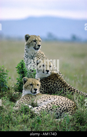 Three adult male Cheetah probably brothers or siblings - Stock Photo