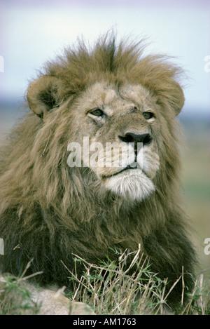 Portrait of alert male lion sitting on termite mound - Stock Photo