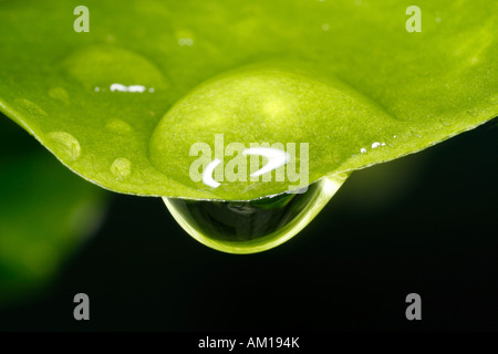 Close up of a drop of water hanging from a leaf - Stock Photo
