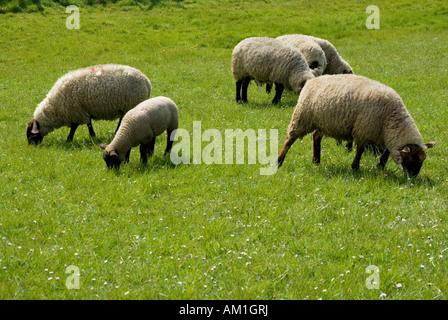 Sheep, dyke, North Sea, East Frisia, Lower Saxony, Germany - Stock Photo