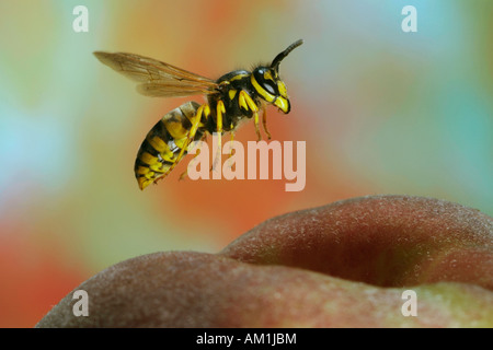 German wasp (Vespula germanica) at a peach - Stock Photo