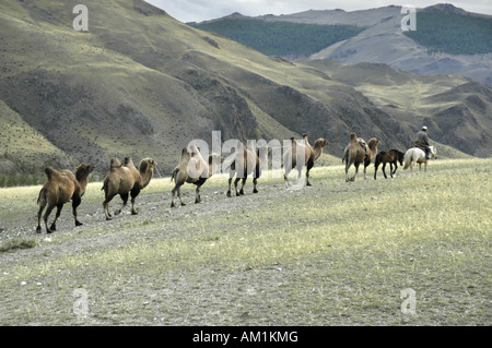 Caravan of Bactrian camels in the steppe Kharkhiraa Mongolian Altai near Ulaangom Uvs Aymag Mongolia - Stock Photo