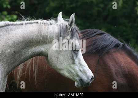 Old horse (Equus ferus caballus) - Stock Photo