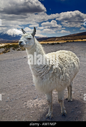 White Llama with Volcano Parinacota in the background.  Lauca National Park, Chile. - Stock Photo