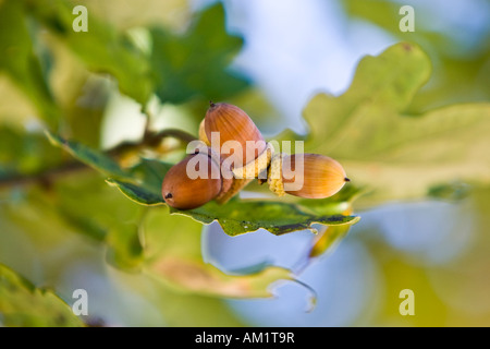 Acorns and oak leaves at the tree (Quercus robur) - Stock Photo