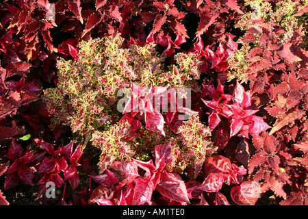 Solenostemon scutellarioides ruffled red and red yellow hybrid - Stock Photo