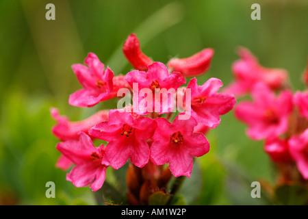 Alpenrose, snow-rose, Rhododendron hirsutum, Alps - Stock Photo