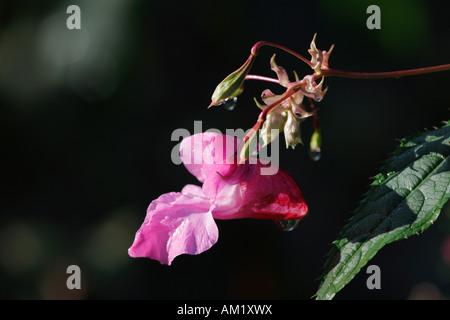 Indian Balsam, ornamental jewelweed ( Impatiens glandulifera )