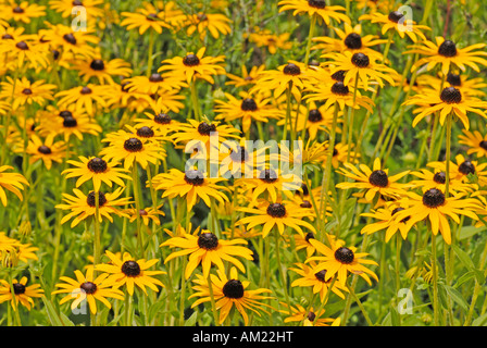 Orange Cone Flower )Rudbeckia fulgida var. deamii),  flowers - Stock Photo