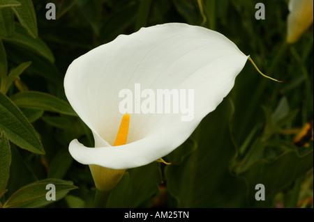 Calla lily, Zantedeschia aethiopica, South Africa - Stock Photo