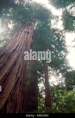 looking up at tall giant redwood tree bark Muir Woods National Monument Marin San Francisco Bay Area California - Stock Photo