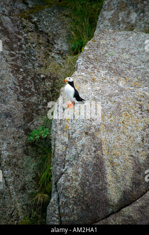 Horned puffin Fratercula corniculata Chiswell Islands Alaska Maritime National Wildlife Refuge - Stock Photo