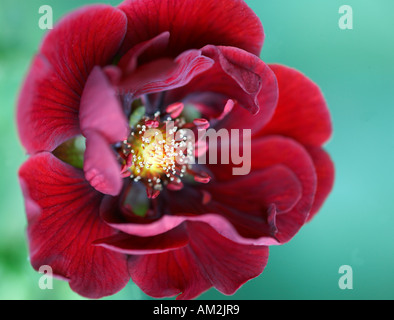 Potentilla thurberi amorubens Monarch's Velvet - Stock Photo
