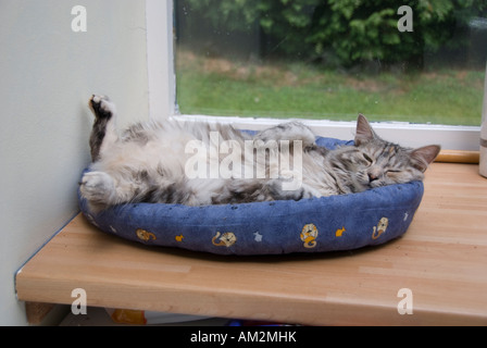 Cat lying on back spread eagled in doughnut bed - Stock Photo