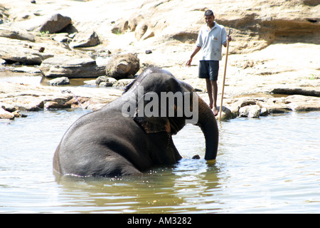Elephant cooling off in a river near Pinnewela elephant orphanage Sri Lanka - Stock Photo