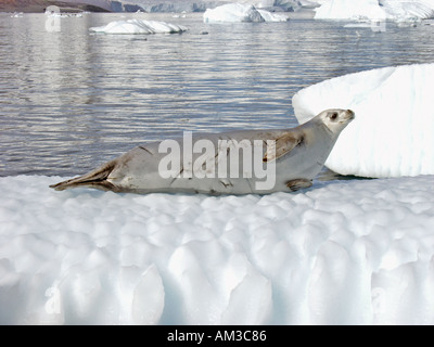 A crabeater seal lobodon carcinophagus rests on an iceberg in Paradise Harbor aka Paradise Bay Antarctica - Stock Photo