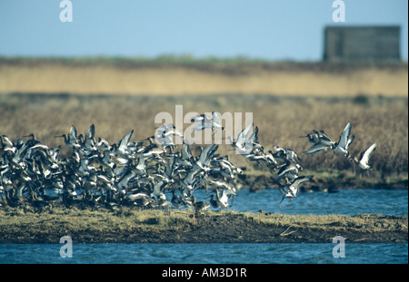 Black-tailed godwits landing at roost Kent England - Stock Photo