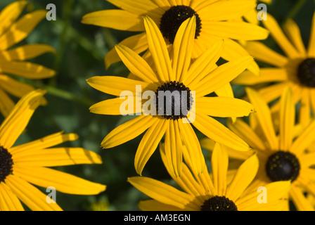 Echinacea (Rudbeckia) - Stock Photo