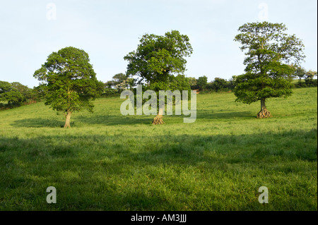 Three oak trees in a field in Higher Penpoll, near Fowey, Cornwall, UK - Stock Photo