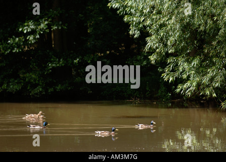 THREE PAIRS OF DUCKS ON A LAKE SURROUNDED BY WEEPING WILLOW TREES HEREFORDSHIRE UK - Stock Photo