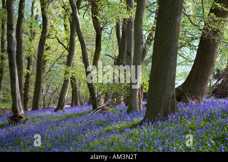 Bluebell wood in spring. Chiltern hills England. (Latin name: Endymion non-scriptus) - Stock Photo