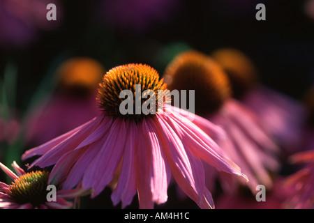 Coneflower Echinacea purpurea Kim's Knee High - Stock Photo