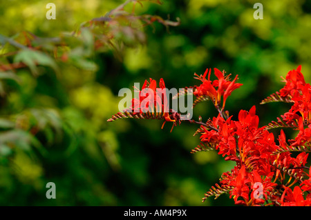 Vivid & Vibrant Red Coloured Crocosmia Lucifer Flowers. - Stock Photo