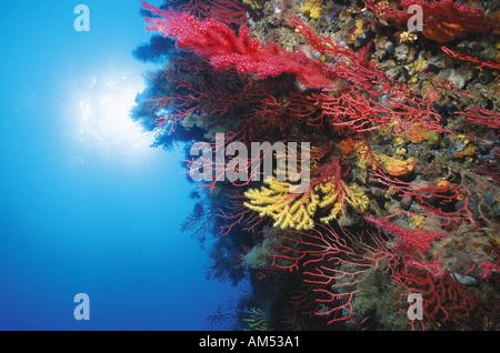 lush wall of coloured sea fans in mediterranean sea - Stock Photo