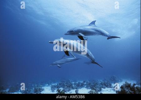dolphin family swimming near the surface - Stock Photo