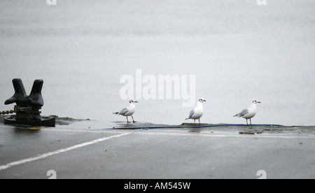 Three seagulls standing in line on the edge of harbour at Wells next the Sea Norfolk UK - Stock Photo