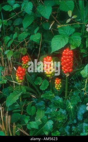Cuckoo pint,  lords and Ladies, Arum maculatum, bearing berries in hedgerow - Stock Photo
