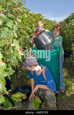 Grape gathering (Blauer Portugieser and Dornfelder) in Unfinden, Hassberge, Lower Franconia, Bavaria, Germany - Stock Photo